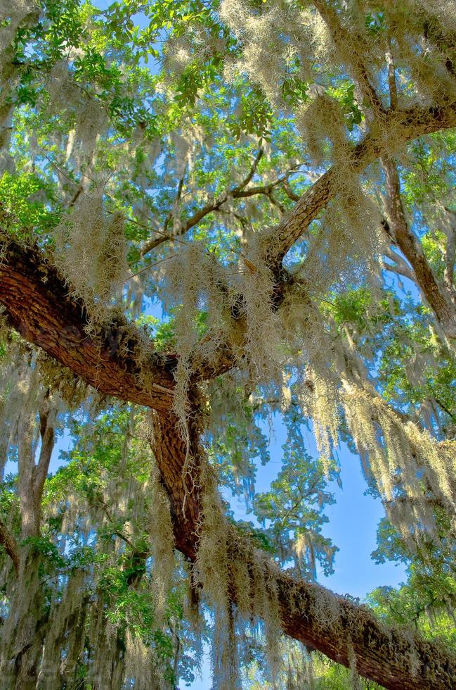 Spanish Moss photo