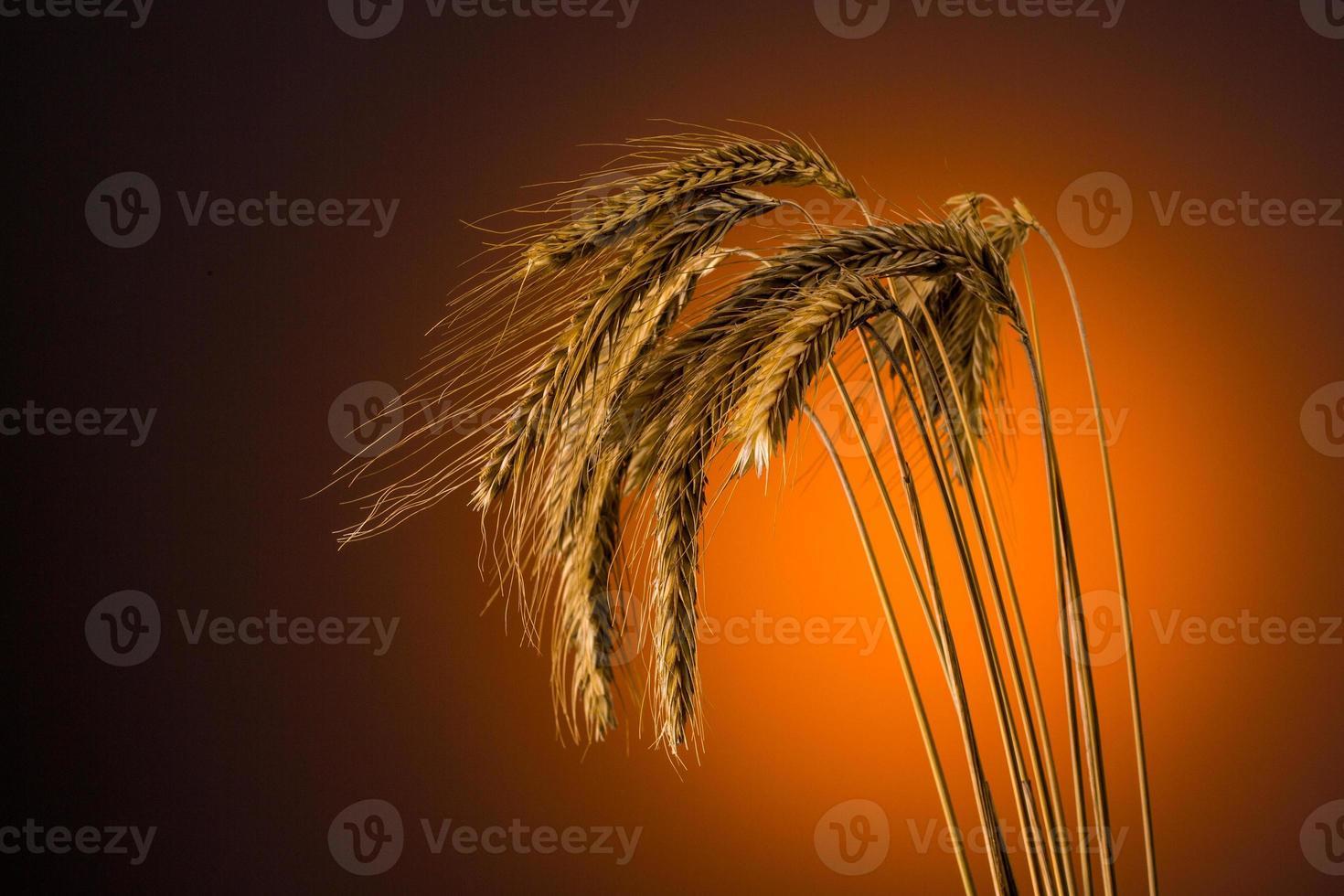 grano en verano foto