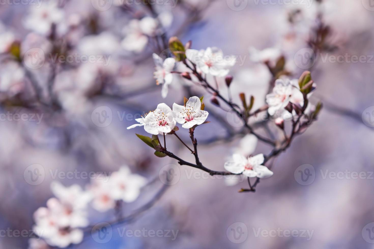 Blossom, spring photo