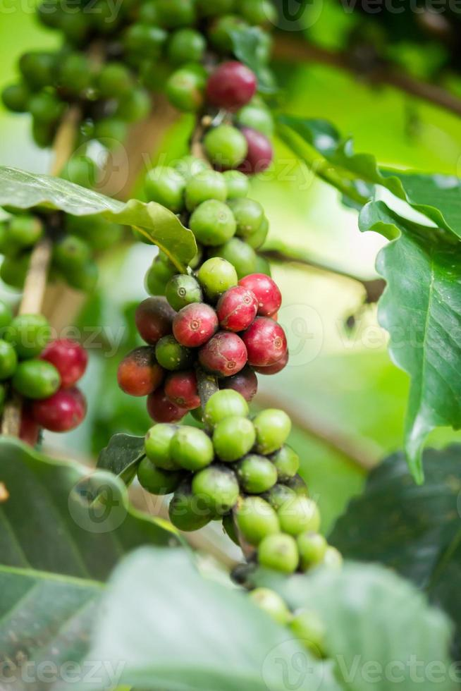 Green and red coffee beans photo