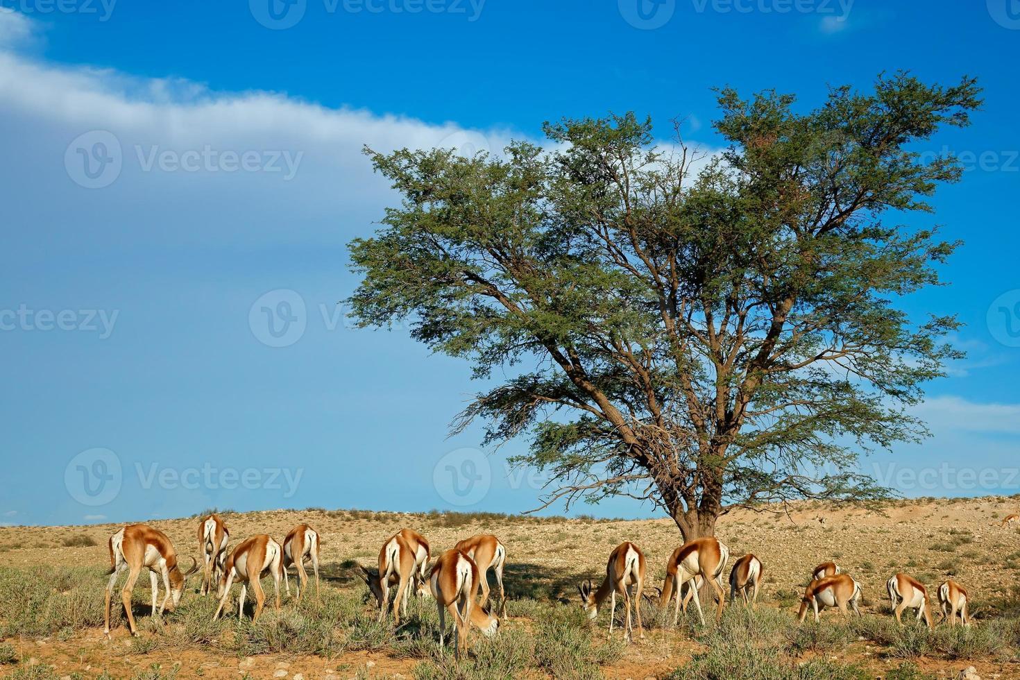 paisaje de antílopes springbok foto