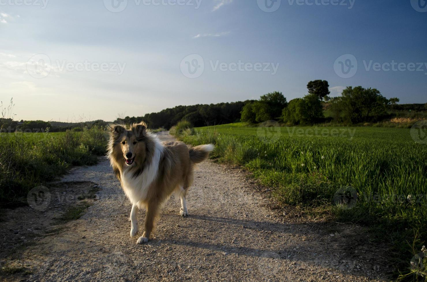 Rough Collie walking photo