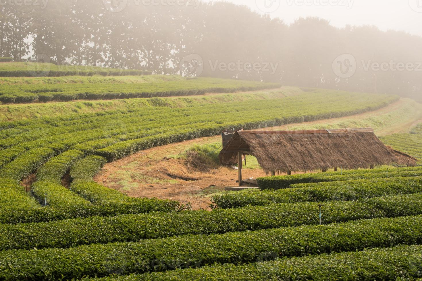 The hut in green tea field with morning fog photo