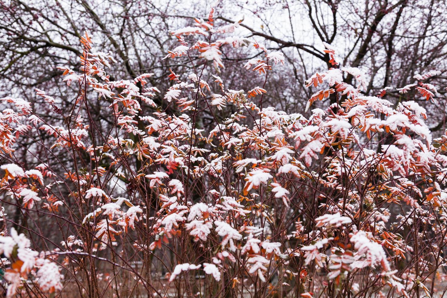 Winter bush photo