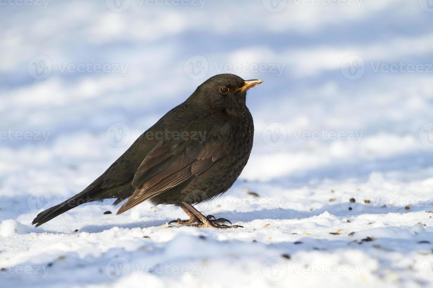 Blackbird in winter photo