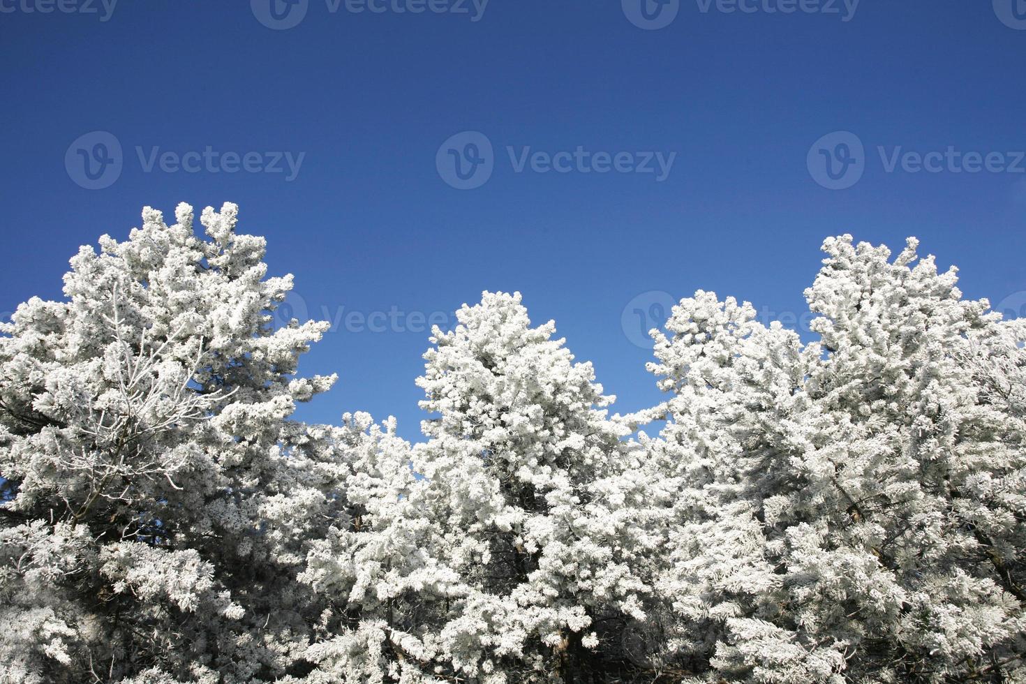 lindos pinheiros na floresta de inverno dia de inverno gelado foto
