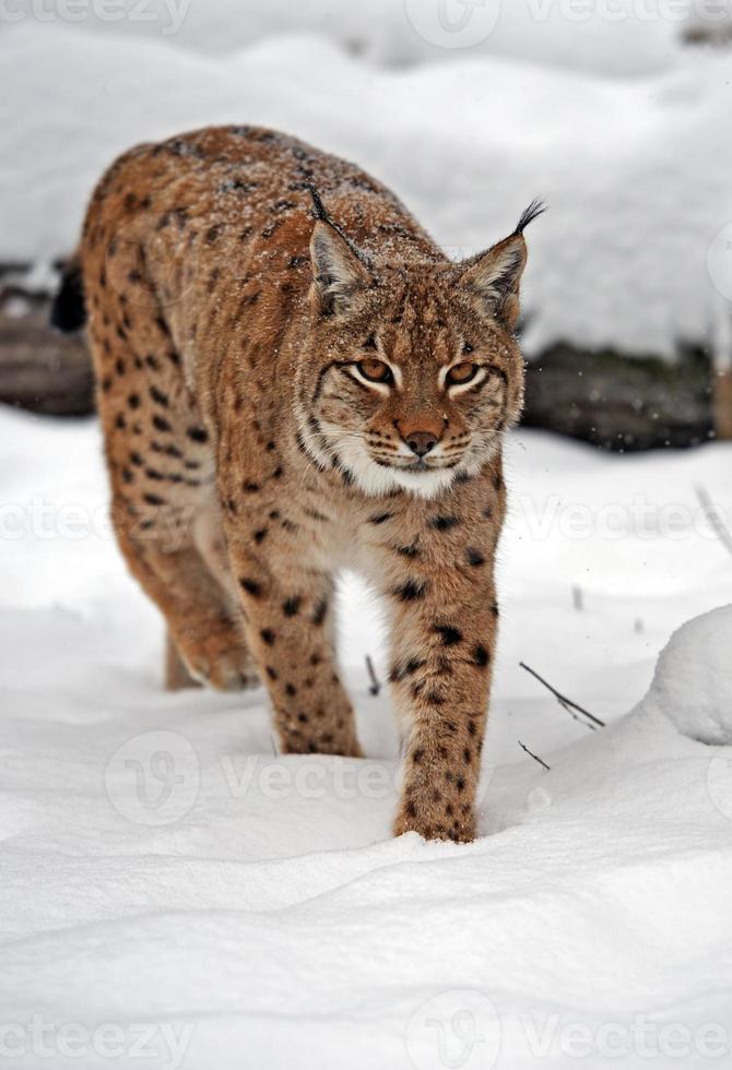 Lynx in winter photo