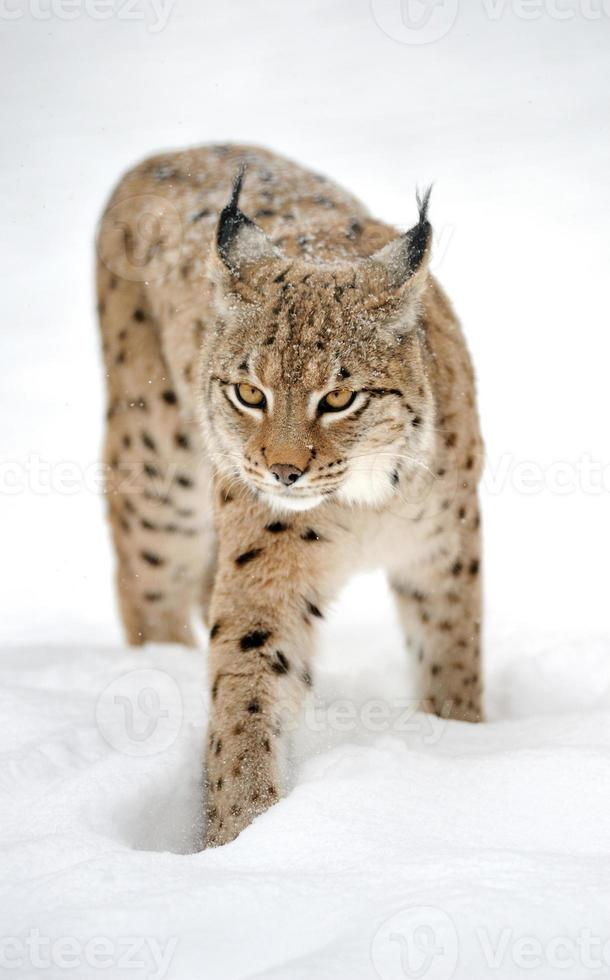 Luchs im Winter foto