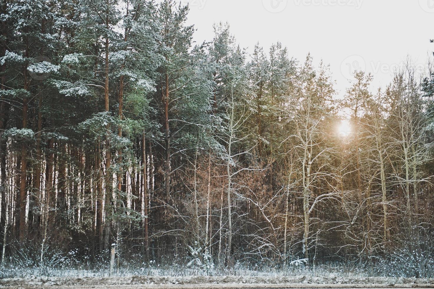 bosque de abetos de invierno foto