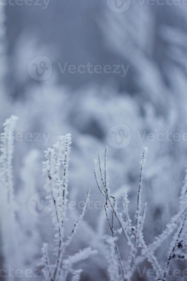Frozen plants, winter background photo
