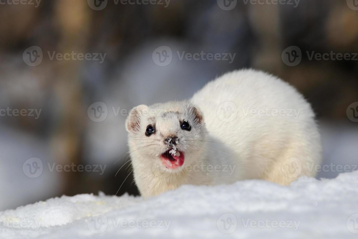 Winter Least Weasel eating photo