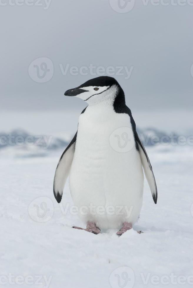 Antarctic penguin winter overcast day. photo