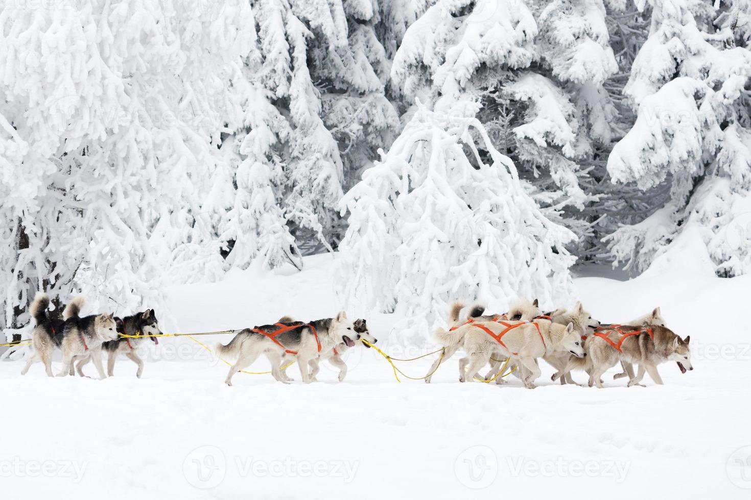 sledge dogging photo