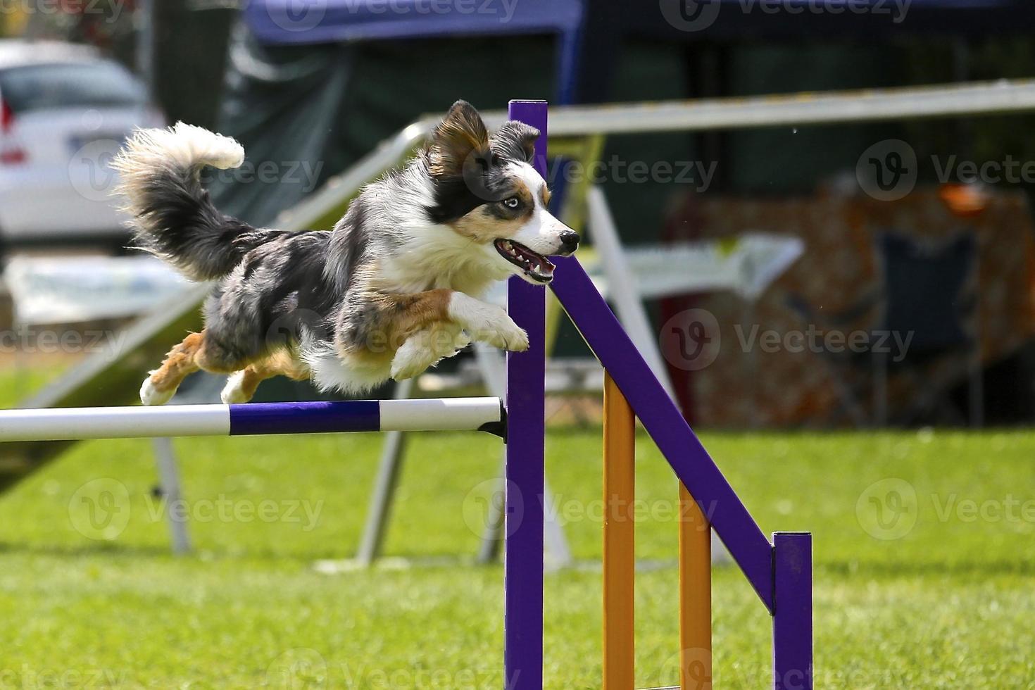 Border collie on a dog agility course photo