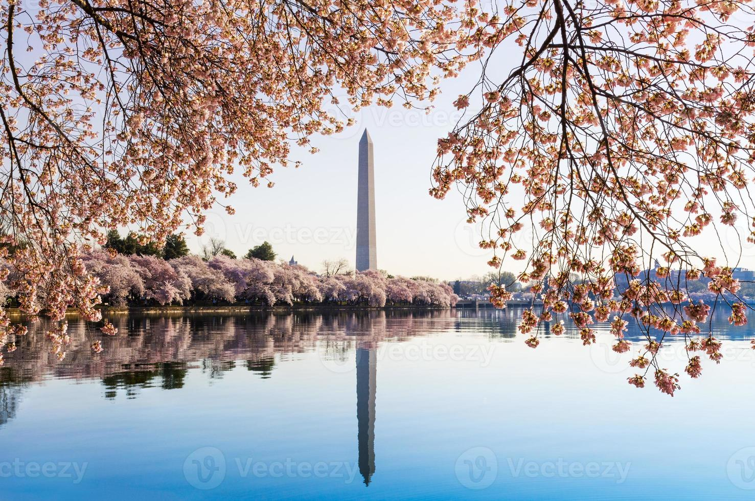 Washington Monument towers above blossoms photo