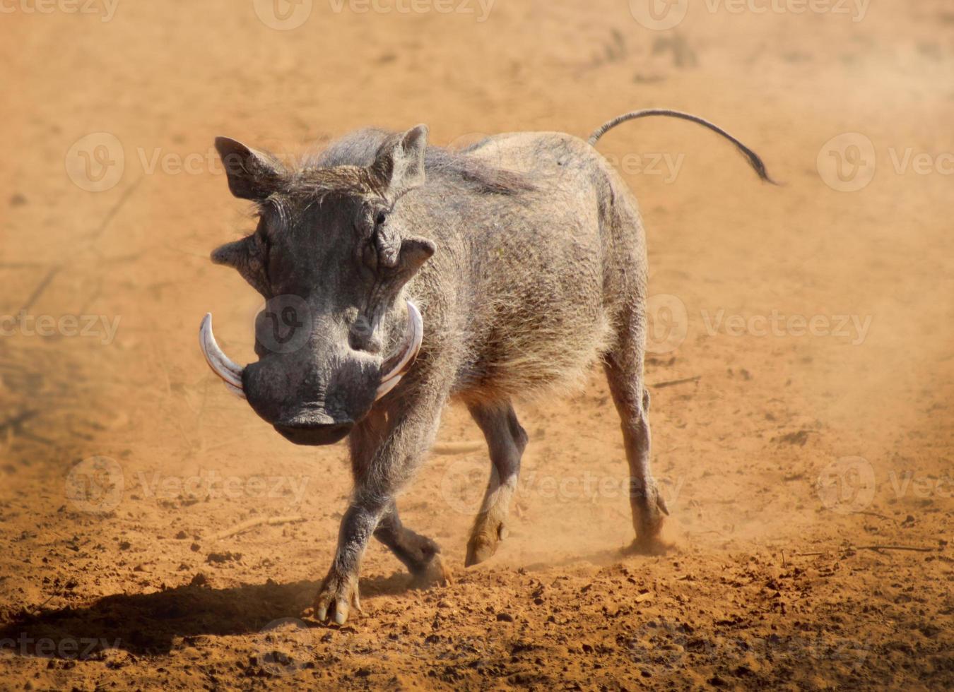 warthog running photo