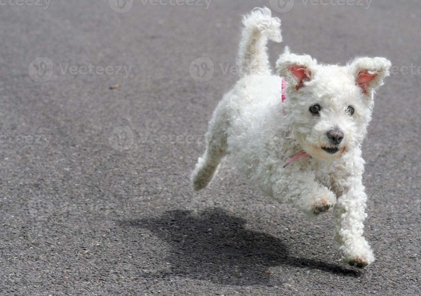 cachorro corriendo foto