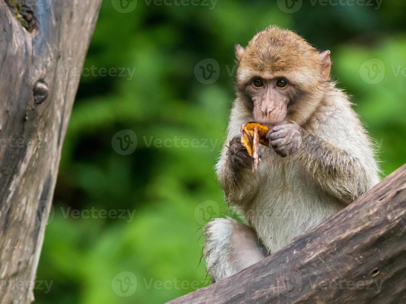 Barbary Macaque photo