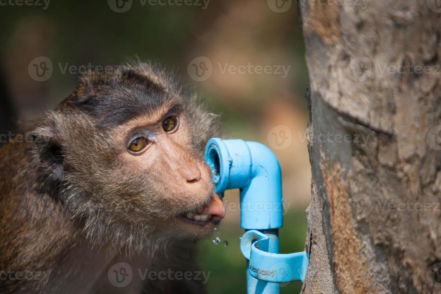 Monkey drinking water from waterwork pipe photo