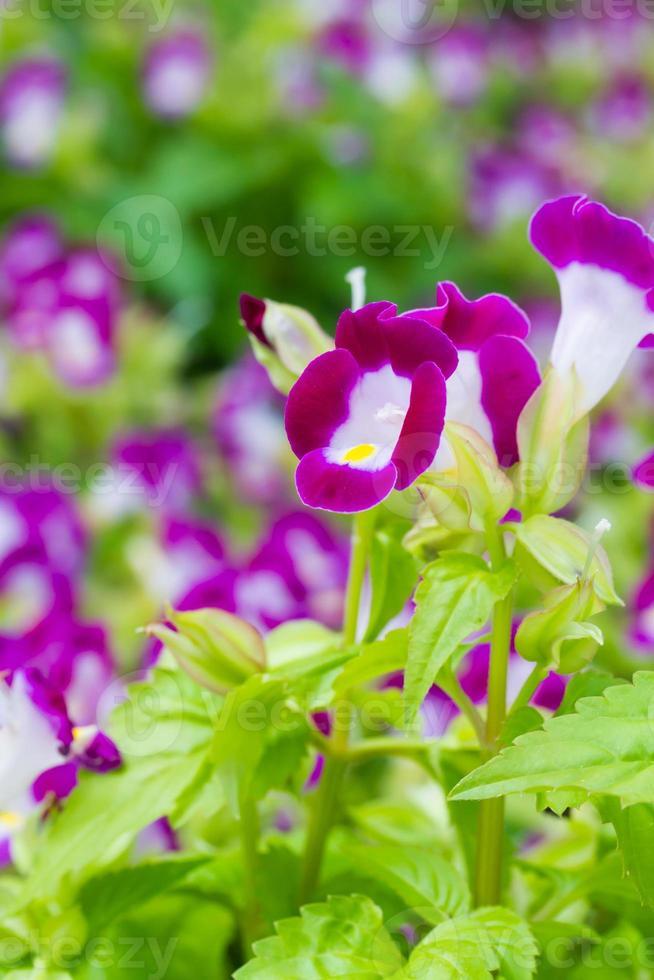 Torenia flowers photo