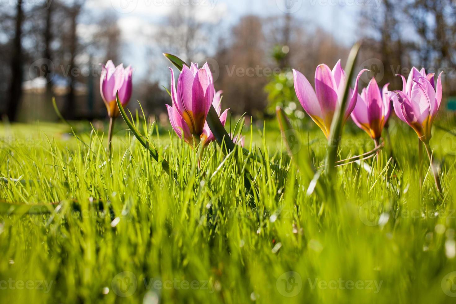 Flores en el parque Keukenhof, Países Bajos, también conocido como el jardín foto