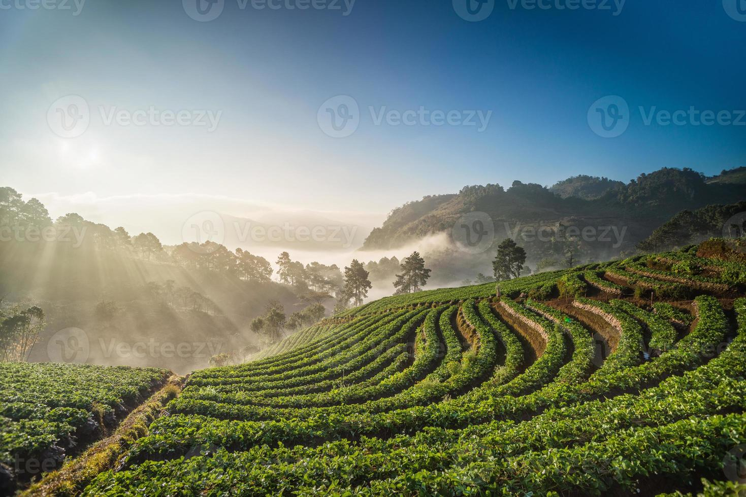 Morning sunrise in strawberry field, chiangmai thailand photo