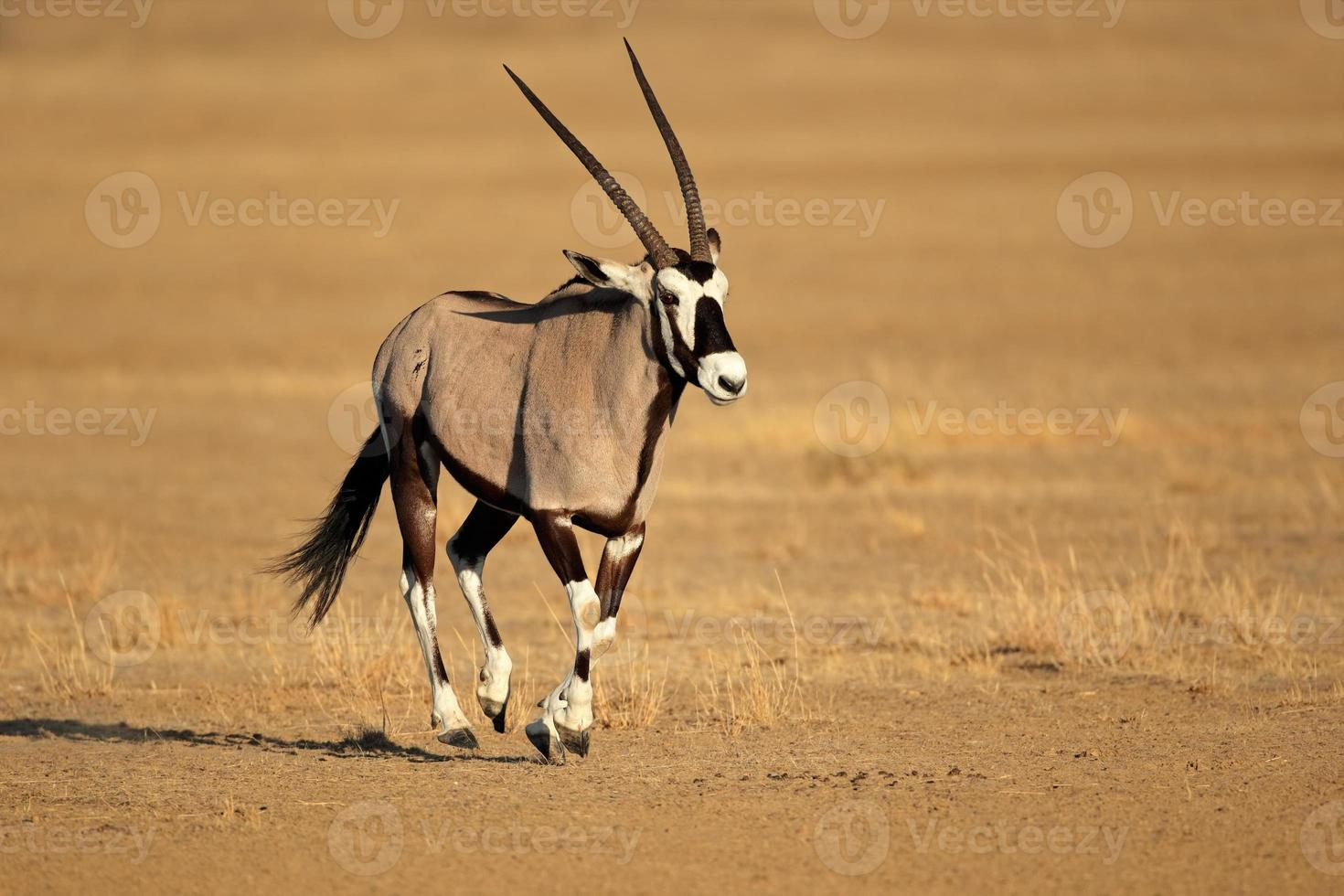 corriendo antílope gemsbok foto