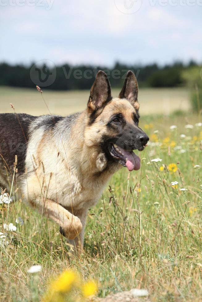 Nice german shepherd dog running photo