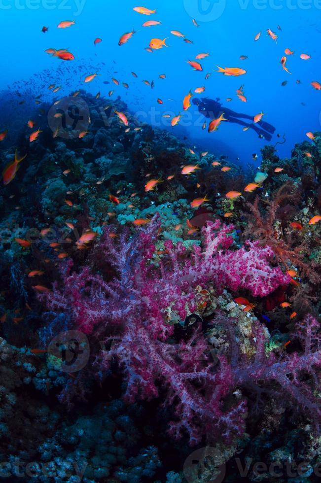 los buceadores nadan sobre los arrecifes de coral foto
