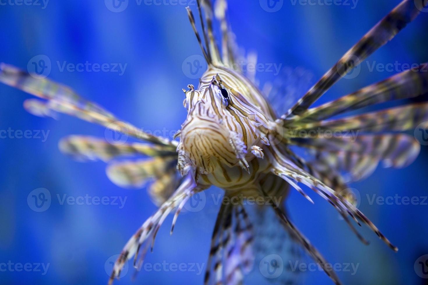 Lion Fish. photo