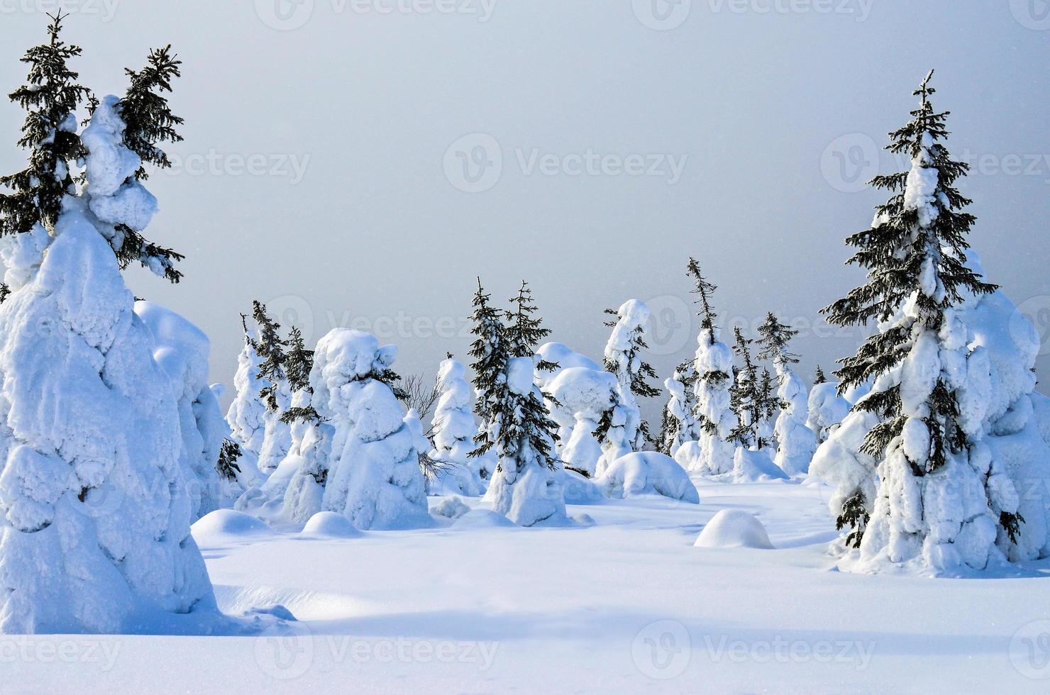 Trees in snow photo