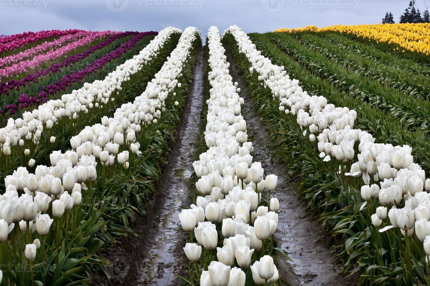 tulipán blanco colinas flores valle de skagit estado de washington foto