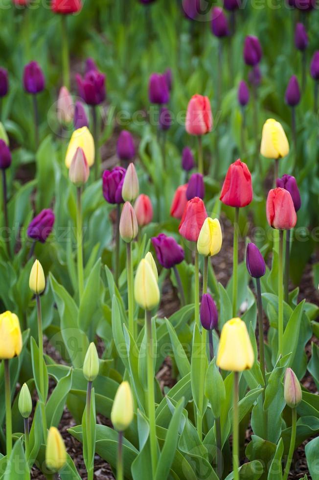 Tulip Field photo