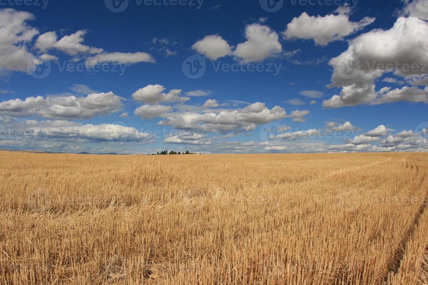 Wheat Field In Eastern Washington photo