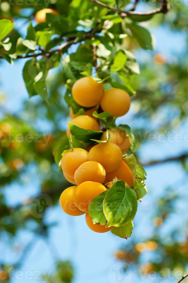 cerezo con frutas foto