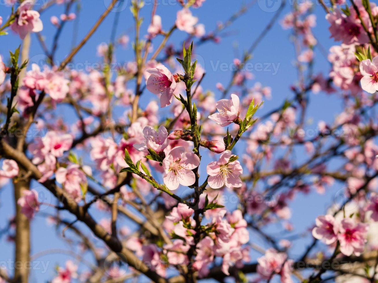 Spring flowers series, pink peach blossoming photo