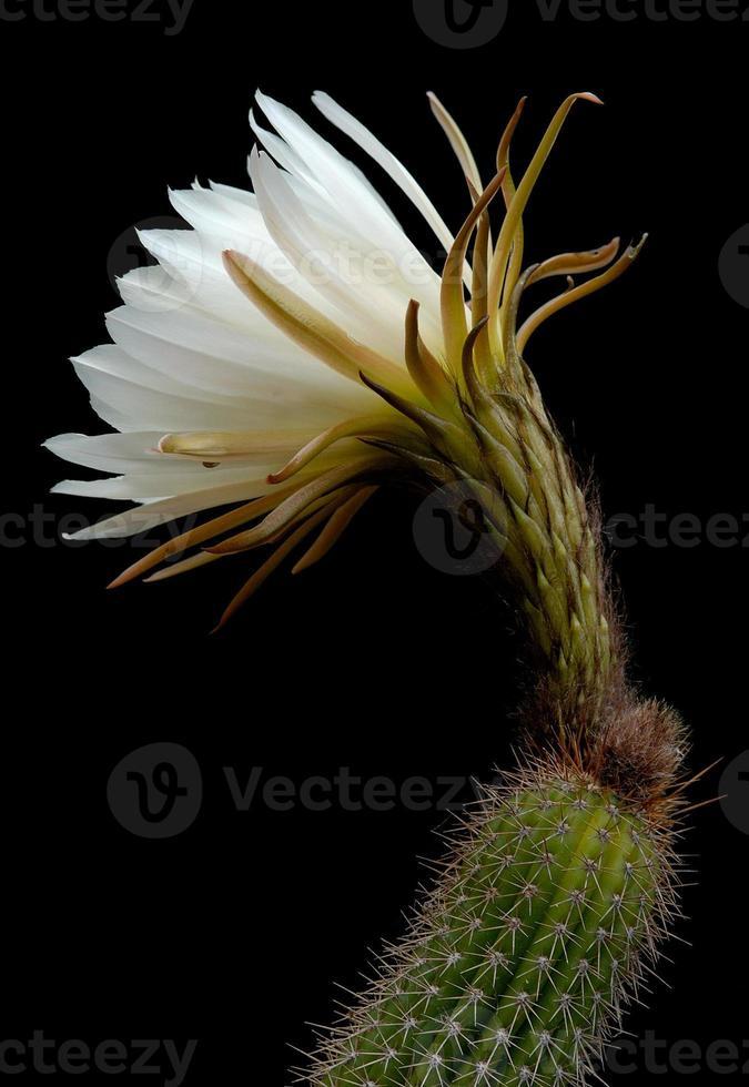 Trichocereus spachianus - floración de cactus foto