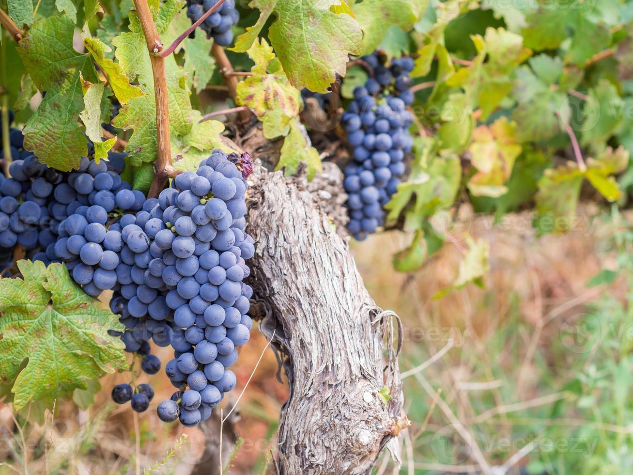 Uvas Cabernet Sauvignon en un viñedo en Sudáfrica foto