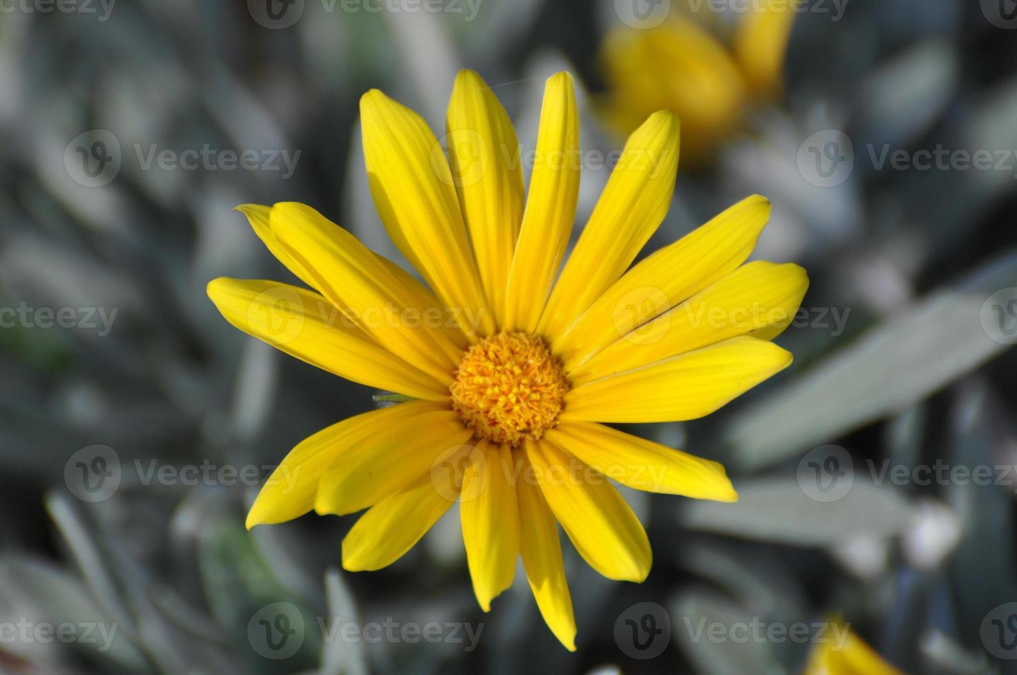 gazanias amarillas foto