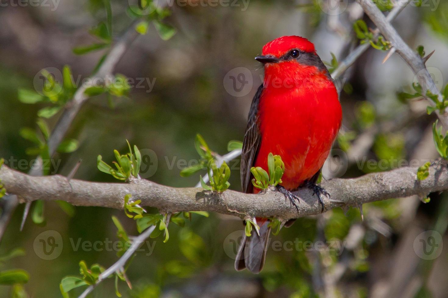 Pássaro Príncipe photo