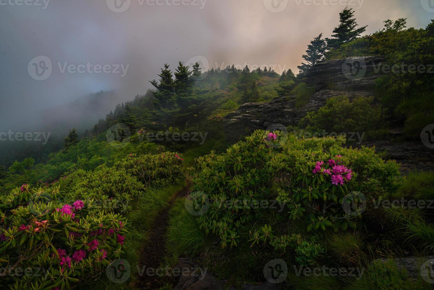 Roan Mountain Spring Rhododenron Blooms photo