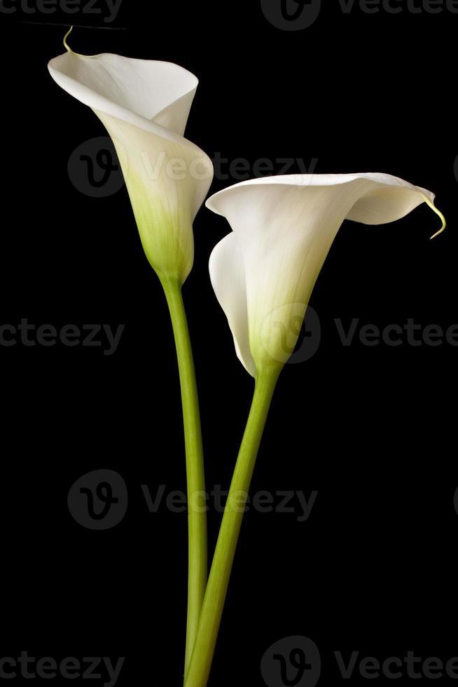 Calla Lily 9 photo