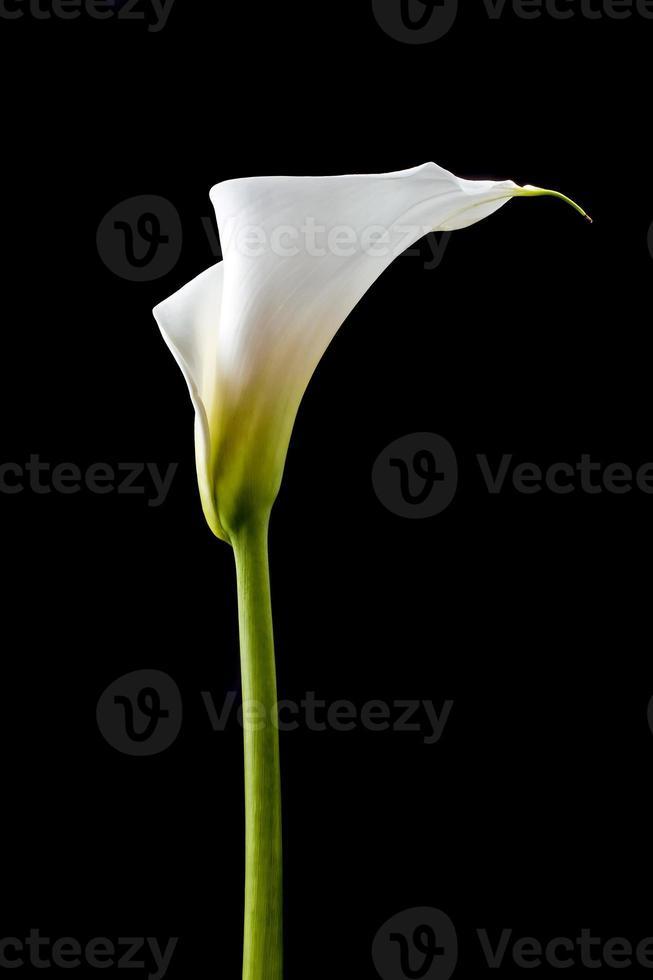 White calla photo