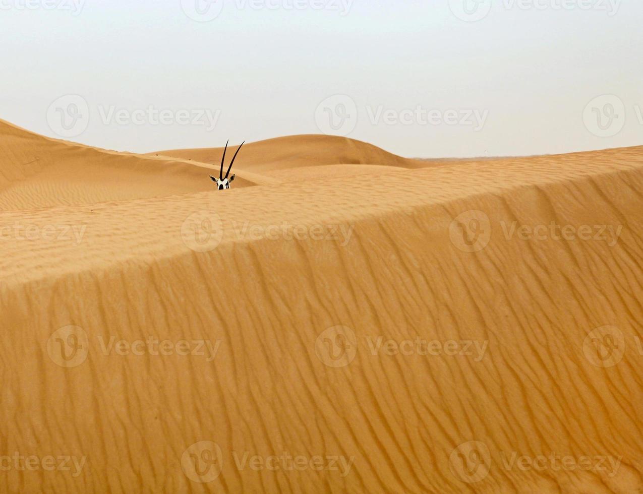 oryx in desert photo