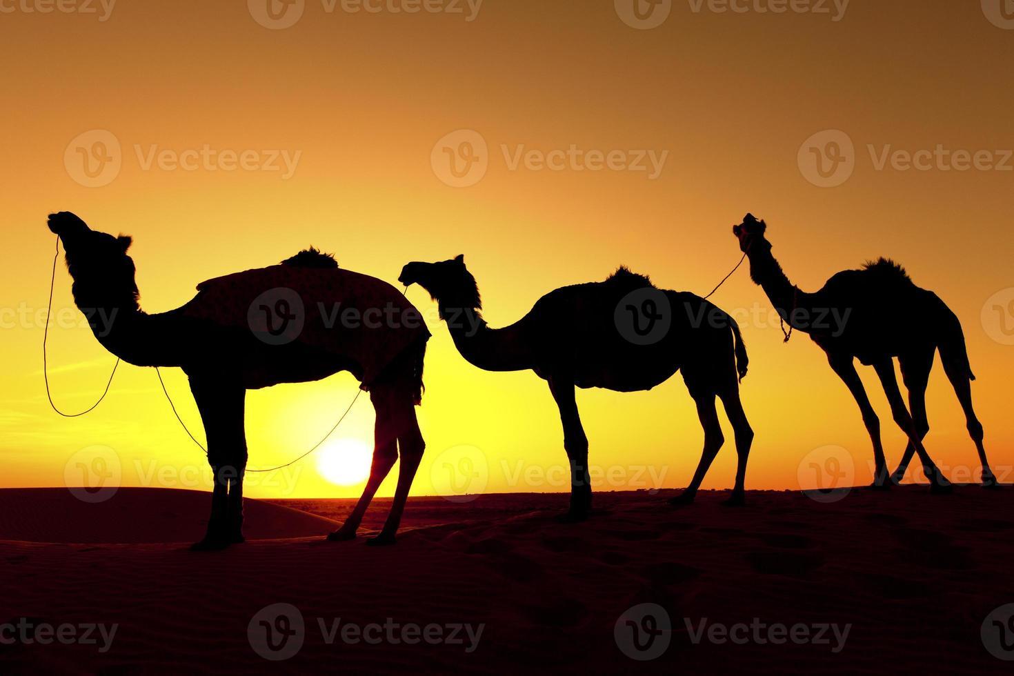 Camel train Silhouette photo