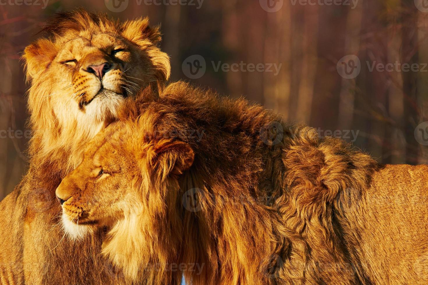 Two lions close together photo