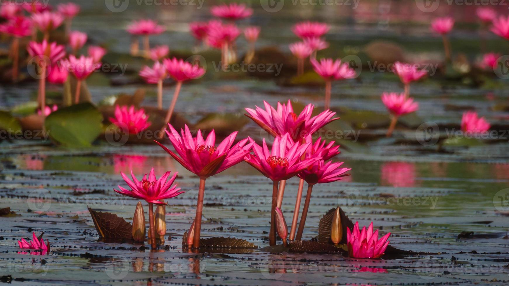 Group of Water Lily growing up together photo