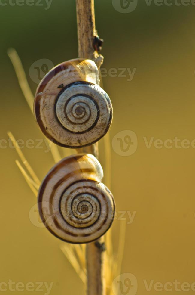 Two snails  on a cane photo