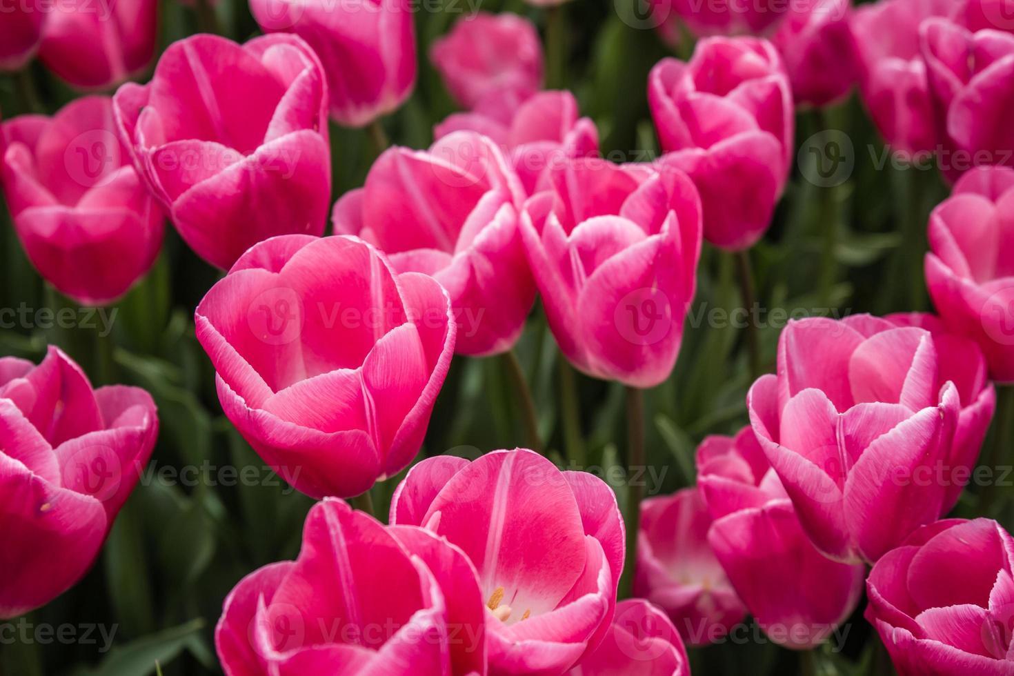 Hermosos tulipanes rosados en un jardín verde de Estambul foto