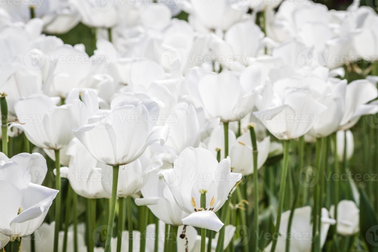 witte tulpen in een groene tuin van istanbul foto